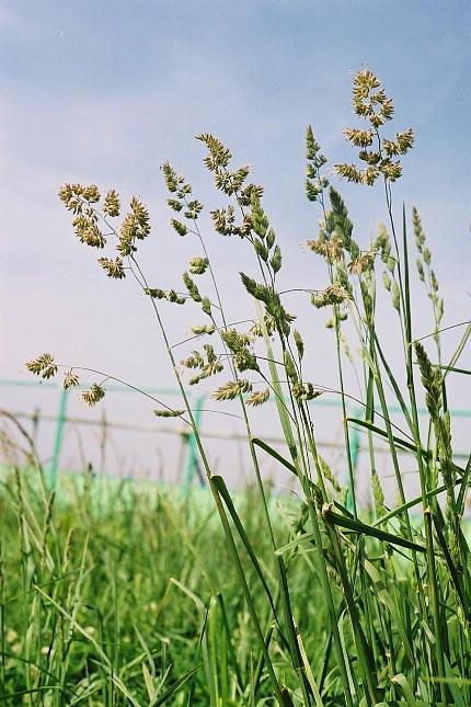カモガヤ 花粉 2020